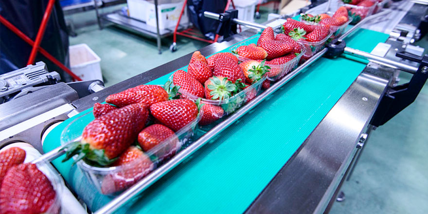 草莓生产流水线